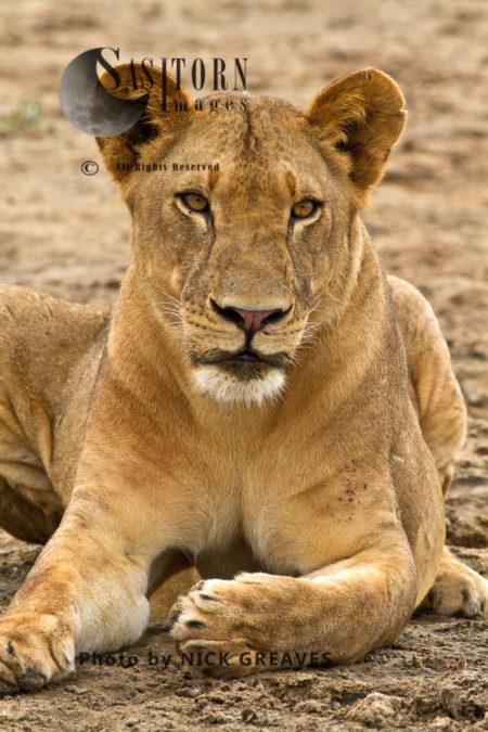 Lioness With Muddy Lips (Panthera Leo), Lake Tagalala, Selous Game Reserve, Tanzania