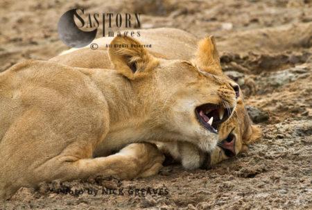 Lion Siblings (Panthera Leo), Lake Tagalala, Selous Game Reserve, Tanzania