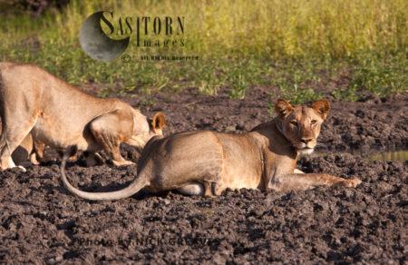 Curious Lioness (Panthera Leo), Lake Tagalala, Selous Game Reserve, Tanzania