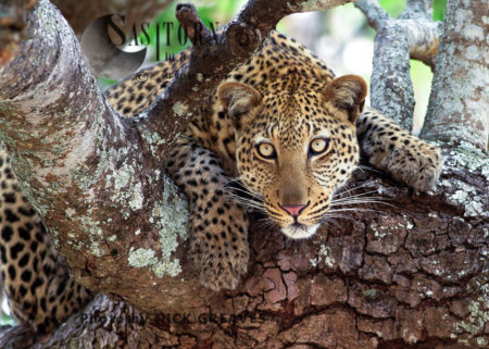 Curious Leopard (Panthera Pardus), Katavi National Park, Tanzania