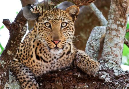 Young Leopard (Panthera Pardus), Katavi National Park, Tanzania