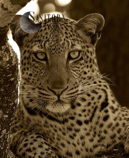 Leopard Portrait (Panthera Pardus), Katavi National Park, Tanzania