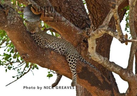 Relaxed Leopard (Panthera Pardus), Katavi National Park, Tanzania