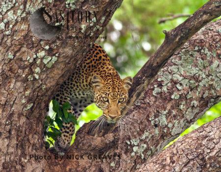 Leopard Descending Tree (Panthera Pardus), Katavi National Park, Tanzania