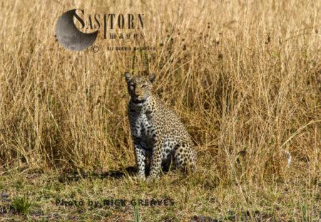 Leopard Enjoying Sunshine (Panthera Pardus), Katavi National Park, Tanzania