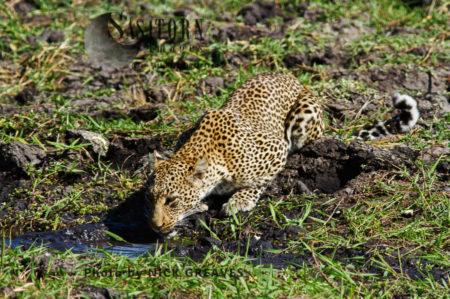 Leopard Drinking (Panthera Pardus), Katavi National Park, Tanzania