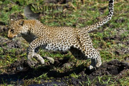 Leopard Leaping (Panthera Pardus), Katavi National Park, Tanzania