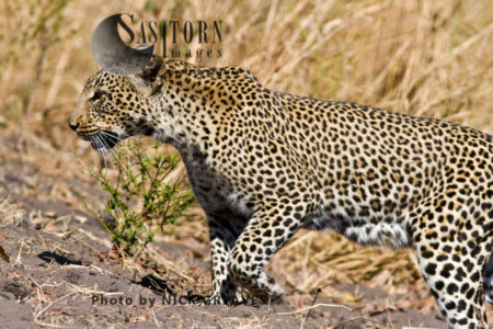 Prowling Leopard (Panthera Pardus), Katavi National Park, Tanzania