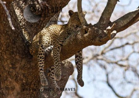 Watchful Leopard (Panthera Pardus), Katavi National Park, Tanzania