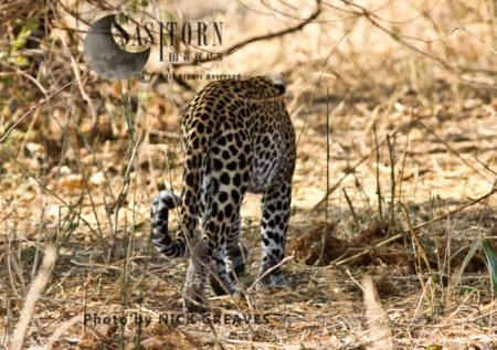 Leopard Walking Away (Panthera Pardus), Katavi National Park, Tanzania