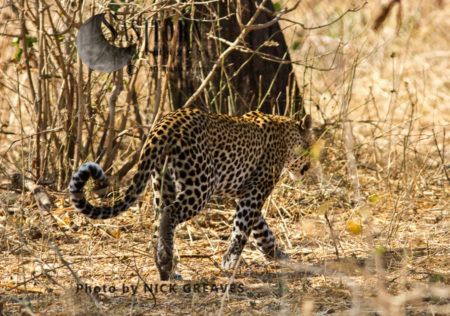Leopard Patrolling Territory (Panthera Pardus), Katavi National Park, Tanzania