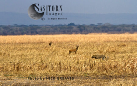 Leopard Prowling Past Reedbuck (Panthera Pardus), Katavi National Park, Tanzania