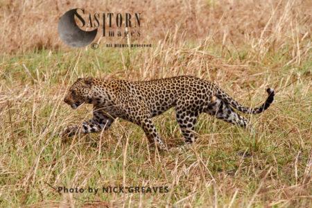 Male Leopard (Panthera Pardus), Katavi National Park, Tanzania