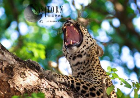 Yawning Leopard (Panthera Pardus), Katavi National Park, Tanzania