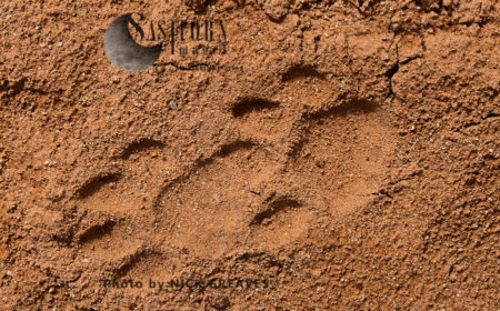 Leopard Tracks (Panthera Pardus)
