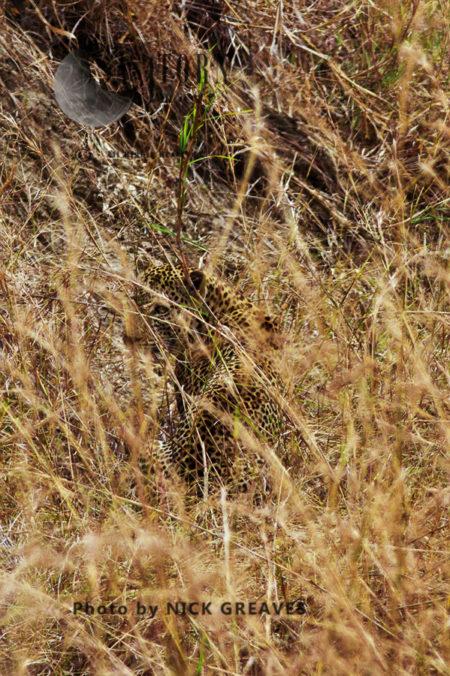 Leopard In The Long Grass (Panthera Pardus), Mikumi National Park, Tanzania