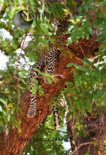 Leopard Sleeping In Tamarind Tree (Panthera Pardus), Mikumi National Park, Tanzania