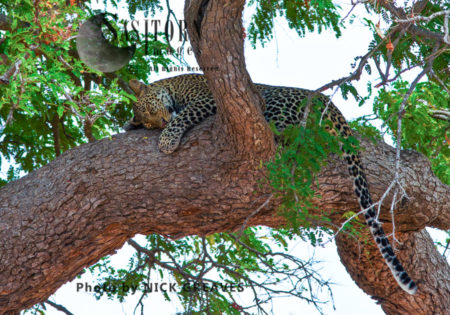 Sleepy Leopard (Panthera Pardus), Mikumi National Park, Tanzania