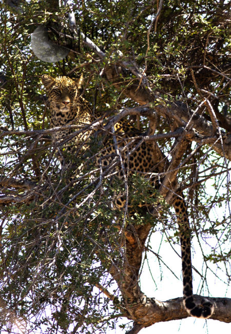 Leopard In Tree (Panthera Pardus)