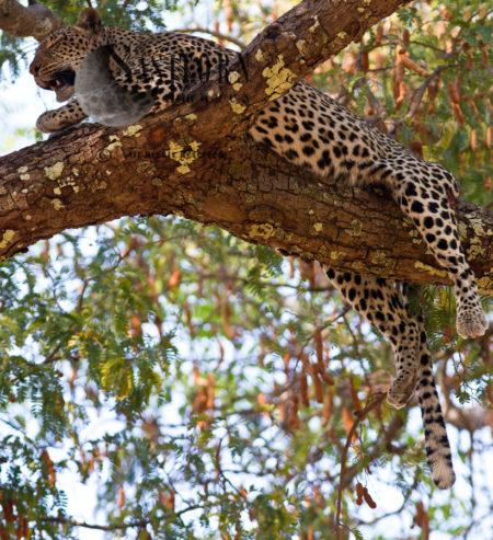Resting Leopard (Panthera Pardus), Katavi National Park, Tanzania