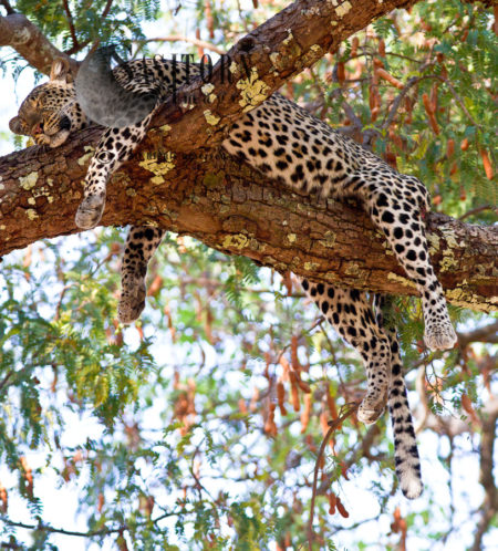 Sleeping Leopard (Panthera Pardus), Katavi National Park, Tanzania