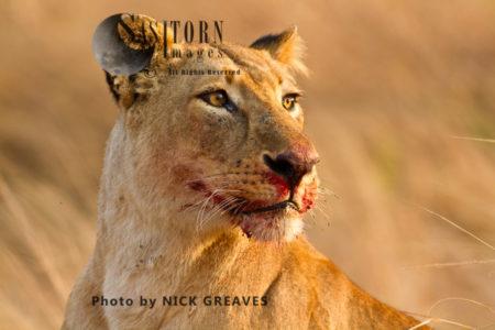 Lioness Face (Panthera Leo), Katavi National Park, Tanzania