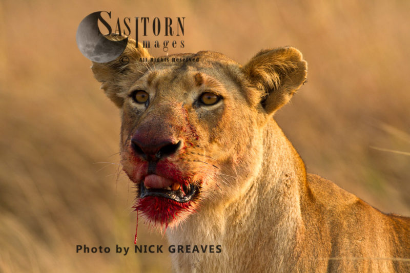 Lioness with bloody jowels (Panthera leo), Katavi National Park, Tanzania