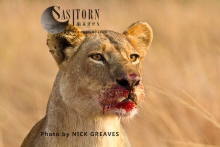 Lioness Feeding On Prey (Panthera Leo), Katavi National Park, Tanzania