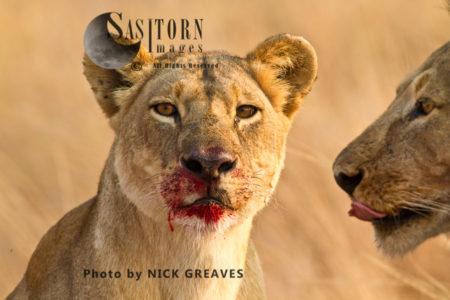 Lioness Feeding (Panthera Leo), Katavi National Park, Tanzania