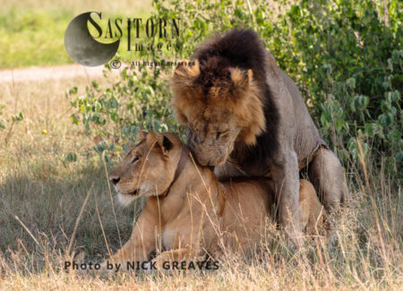 Lions Mating (Panthera Leo), Queen Elizabeth National Park, Uganda