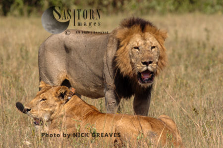Lions (Panthera Leo), Queen Elizabeth National Park, Uganda
