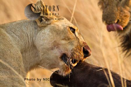 Lioness Chewing Buffalo (Panthera Leo), Katavi National Park, Tanzania