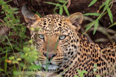 Leopard Portrait (Panthera Pardus), Queen Elizabeth National Park, Uganda