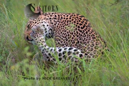 Leopard Grooming (Panthera Pardus), Queen Elizabeth National Park, Uganda