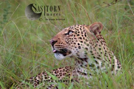 Leopard In Long Grass (Panthera Pardus), Queen Elizabeth National Park, Uganda