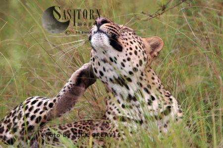 Leopard Scratching (Panthera Pardus), Queen Elizabeth National Park, Uganda