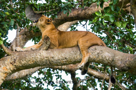 Lioness Resting On Tree (Panthera Leo), Ishasha Sector, Queen Elizabeth National Park, Uganda