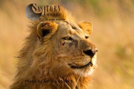 Lion Portrait (Panthera Leo), Katavi National Park, Tanzania