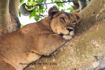 Lioness Sleeping On Tree (Panthera Leo), Ishasha Sector, Queen Elizabeth National Park, Uganda