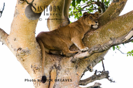 Lioness Sleeping On Tree (Panthera Leo), Ishasha Sector, Queen Elizabeth National Park, Uganda