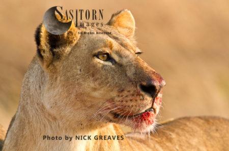 Lioness Portrait, (Panthera Leo)