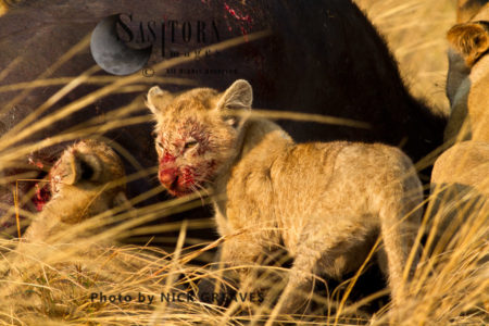 Bloody Cub (Panthera Leo)