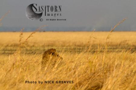 Lion In The Long Grass (Panthera Leo), Katavi National Park, Tanzania