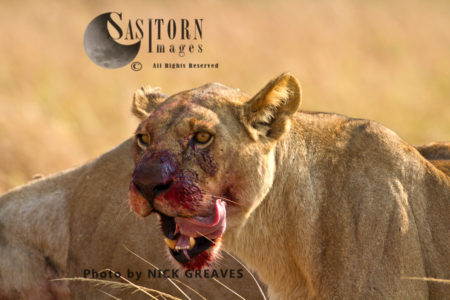 Lioness Licking Chops (Panthera Leo), Katavi National Park, Tanzania