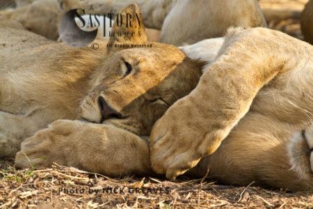 Sleeping Juvenile Lions (Panthera Leo), Katavi National Park, Tanzania