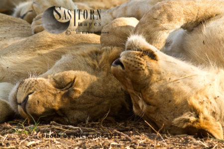 Lioness Sleeping (Panthera Leo)