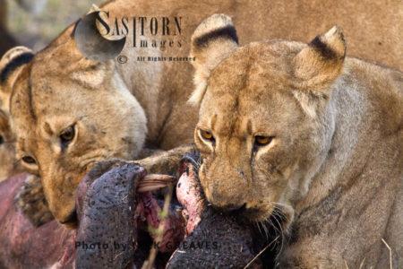 Lioness On Kill (Panthera Leo), Katavi National Park, Tanzania