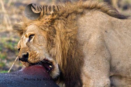 Pride Male On Kill (Panthera Leo), Katavi National Park, Tanzania