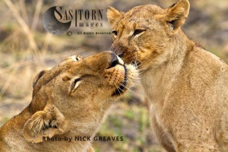 Lions Grooming, (Panthera Leo), Katavi National Park, Tanzania
