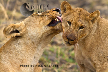 Lioness Grooming Cub (Panthera Leo)